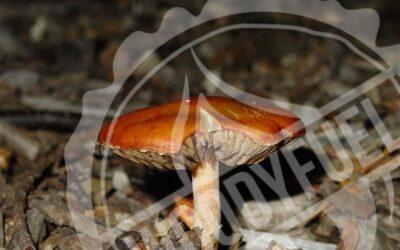 Mushroom on wood chip