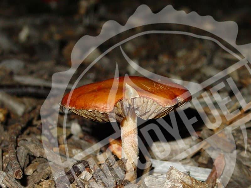 Growing mushrooms on wood chip